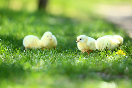Little chicks on green grass in the park