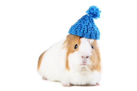 Guinea pig with blue hat isolated on white background