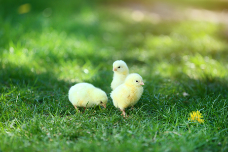 Little chicks on green grass in the park Standard-Bild - 115385036
