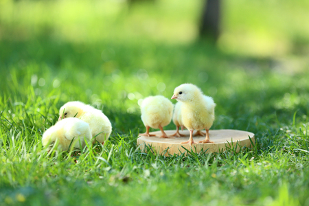 Little chicks standing on wooden board Standard-Bild - 115385238