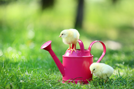 Little chicks with pink watering can on green grass Foto de archivo