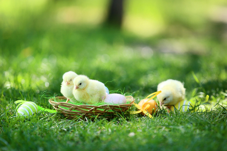 Little chicks in basket with easter eggs on green grass Stock Photo - 116599734