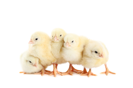 Little chicks isolated on white background