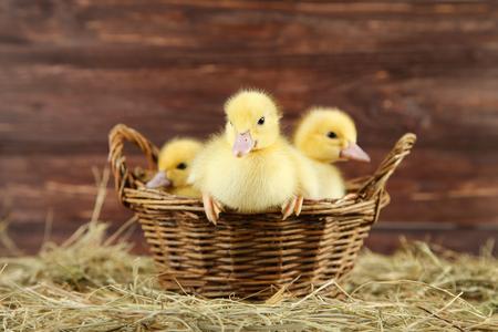 Little yellow ducklings in basket on hay Standard-Bild - 117069747