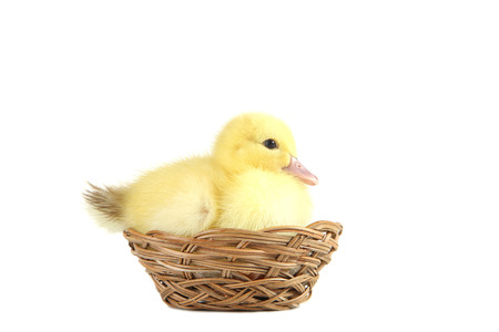 Little yellow duckling in basket on white background