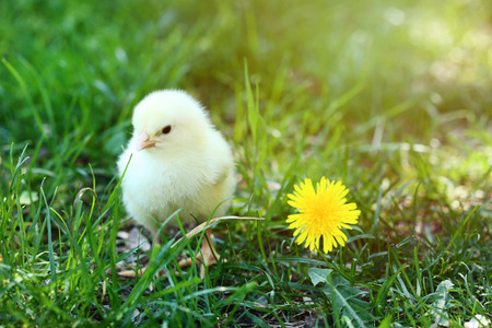 Little chick with yellow flower on green grass Foto de archivo