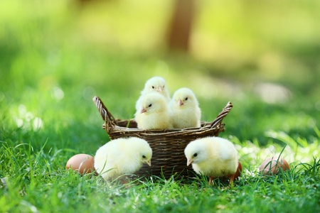 Little chicks in basket on green grass