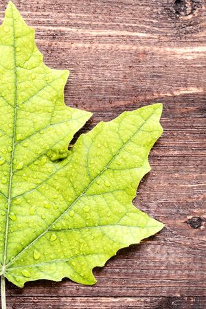 Green maple leaf with water drops on brown wooden table