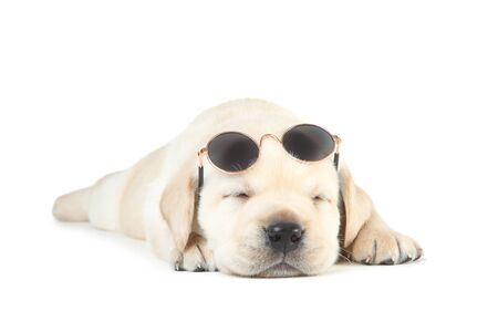 Labrador puppy with sunglasses isolated on white background