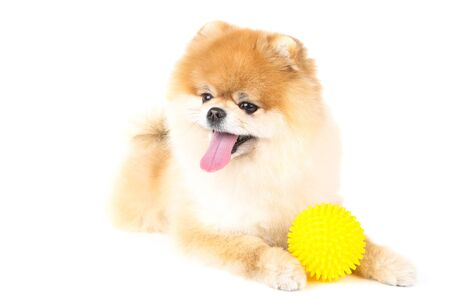 Pomeranian dog with toy ball isolated on white background Foto de archivo