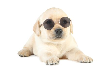 Labrador puppy with sunglasses isolated on white background Stock Photo