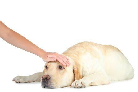 Labrador dog isolated on white background