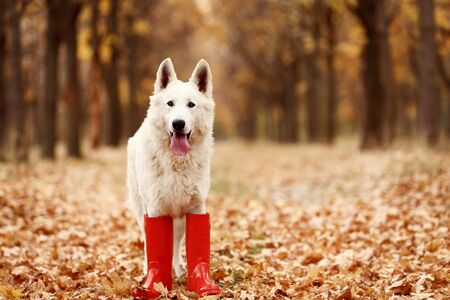 White swiss shepherd dog in red rubber boots