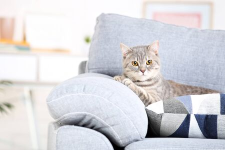 Beautiful cat lying on grey sofa