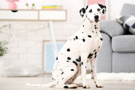 Dalmatian dog sitting on the floor at home