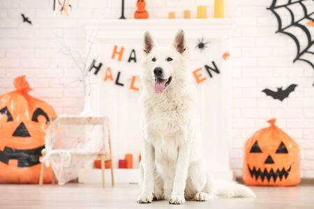Swiss shepherd dog with halloween decoration at home 版權商用圖片 - 129359218