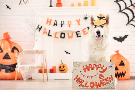 Swiss shepherd dog with text Happy Halloween and pumpkins at home