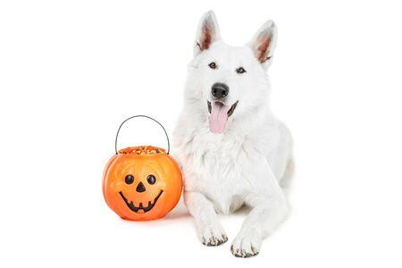 Swiss shepherd dog with candies in halloween bucket on white background Stockfoto