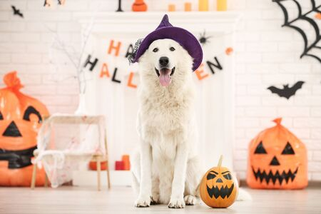 Swiss shepherd dog with halloween pumpkin sitting at home