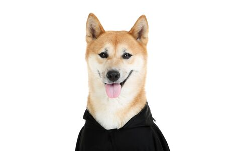 Shiba inu dog in black halloween costume on white background Stock Photo