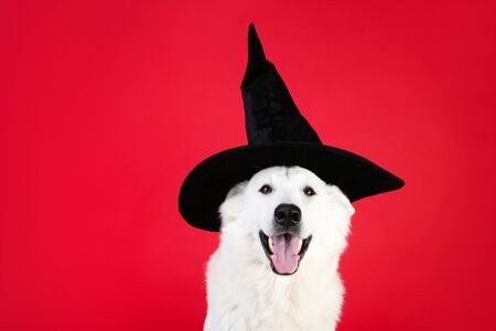 Swiss shepherd dog with halloween hat on red background