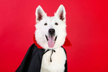 Swiss shepherd dog in dracula costume on red background