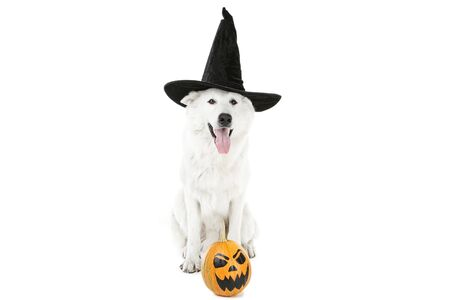 Swiss shepherd dog in halloween hat and pumpkin on white background Stock Photo