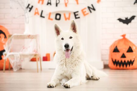 Swiss shepherd dog with halloween decorations lying at home