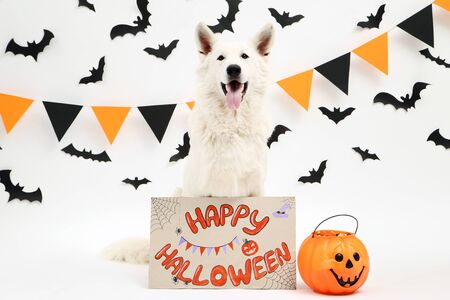 Swiss shepherd dog with pumpkin and text Happy Halloween on white background