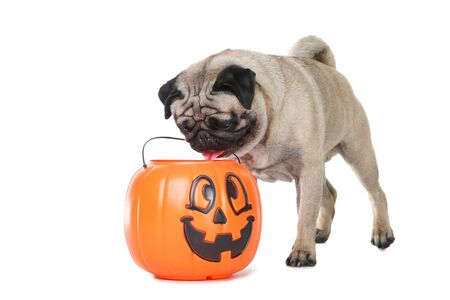 Pug dog with halloween bucket on white background