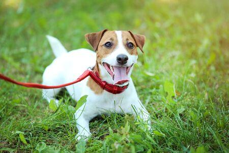 Beautiful Jack Russell Terrier dog in the park Foto de archivo