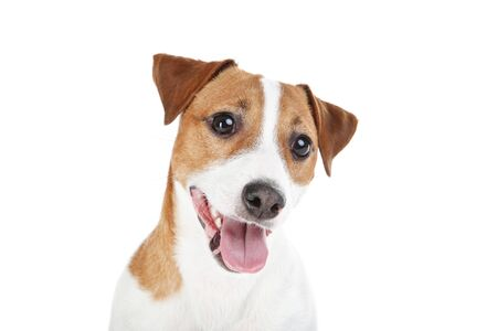 Beau chien Jack Russell Terrier isolé sur fond blanc