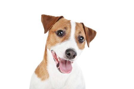 Hermoso perro Jack Russell Terrier aislado sobre fondo blanco.