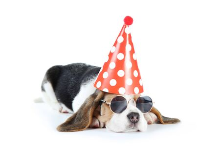 Beagle puppy dog in sunglasses and birthday cap isolated on white background