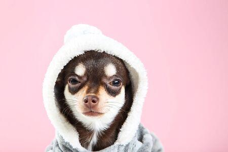 Chihuahua dog in costume on pink background 版權商用圖片