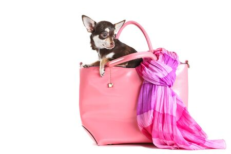 Chihuahua dog sitting in pink leather bag on white background