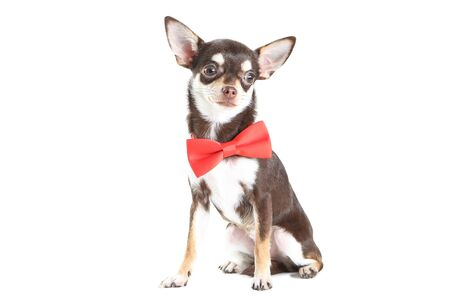 Chihuahua dog in red bow isolated on white background