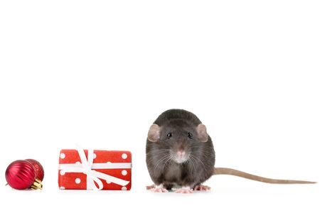 Black rat with gift box and christmas baubles on white background 版權商用圖片