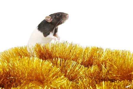 Black rat with golden christmas tinsel