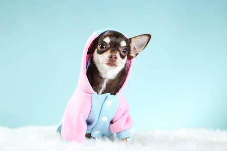 Chihuahua dog in costume on blue background 版權商用圖片