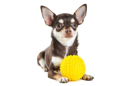 Chihuahua dog with yellow toy isolated on white background 版權商用圖片