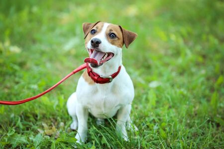 Beautiful Jack Russell Terrier dog in the park