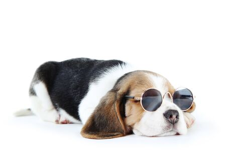 Beagle puppy dog in sunglasses isolated on white background Banco de Imagens