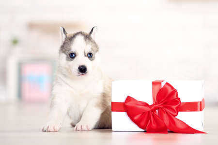 Husky puppy with christmas gift box sitting at home