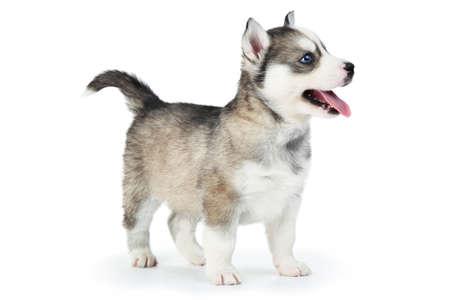 Husky puppy isolated on white background