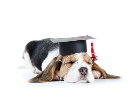 Beagle puppy dog in eyeglasses and graduation cap isolated on white background