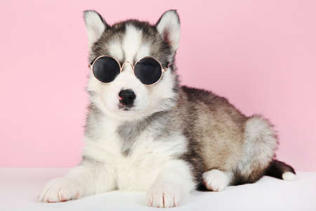 Husky puppy in sunglasses on pink background