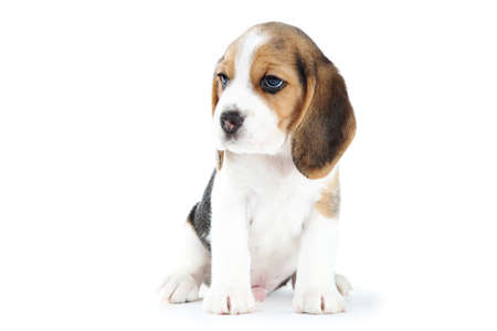 Beagle puppy dog isolated on white background Stockfoto