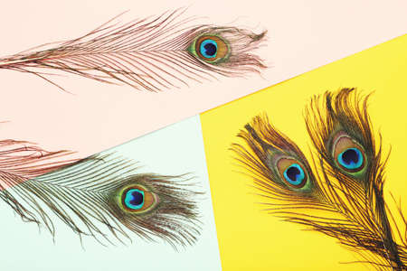 Peacock feathers on colorful paper background Stock Photo