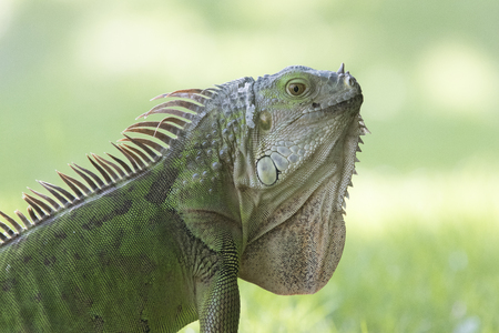 Close-up shot of an iguana in the sun 스톡 콘텐츠